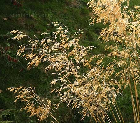 Stipa gigantea, the Golden Oat grass ranks among the finest of all garden plants.
