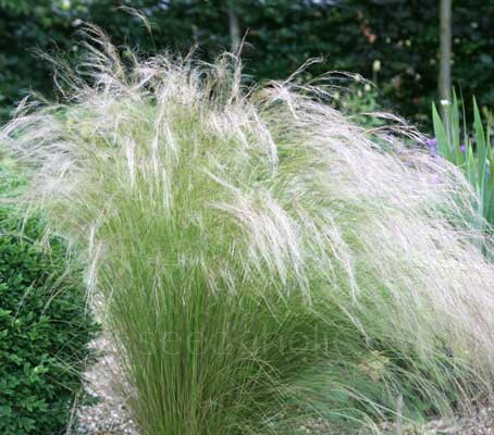 Stipa 'Bridal Veil' has gorgeous silvery-white flower panicles, it is one of the prettiest perennial grasses.