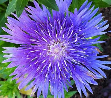 Stokesia laevis is considered by many as one of the most attractive late-flowering perennials.
