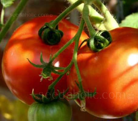 Tomato 'St Pierre' Organic