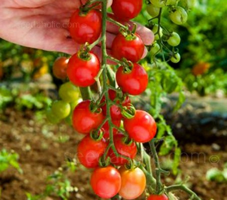 Tomato 'Sugar Grape' is very vigorous variety that produces large trusses of sweet fruits that have an excellent flavour.