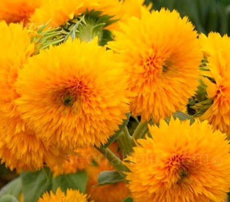 Giant Double Sungold  blooms with great big fluffy golden heads.