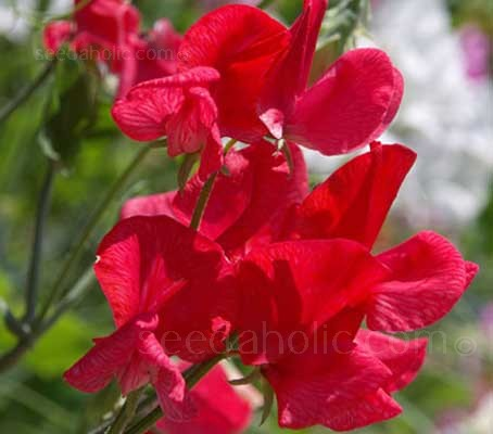 A highly scented heirloom sweet pea introduced by Henry Eckford in 1905.