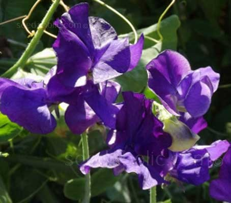 If you grow just one annual, grow a sweet pea. If you want one with beautiful deep blue blooms of ruffled petals then grow 'Blue Velvet'.