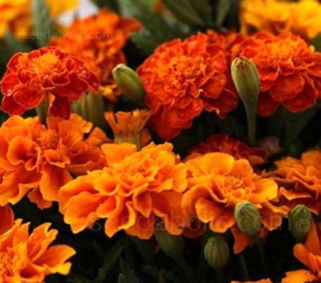 French Marigold 'Tangerine grows to a uniform height of 25 to 30cm tall with blooms 5 to 7cm in diameter