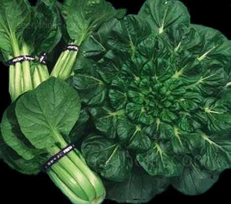 "Known as ""Tah Tsai"" in China, Tatsoi or Rosette Pak Choi is among the most popular of oriental greens."