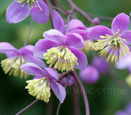 Thalictrum delavayi is probably the most attractive of the species