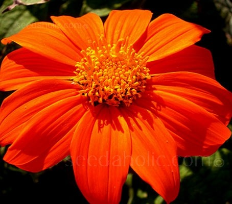 Brilliant sizzling, scarlet-orange flowers cover this vibrant ornamental plant, with velvety textured leaves and huge blooms.