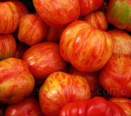 Highly productive and extremely attractive, it has a unique, rich, tangy flavour and the stripes give it outstanding eye appeal.