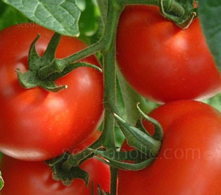 Disease resistant, early maturing and easy to grow, Tomato F1 Shirley produces excellent quality, medium sized red fruits