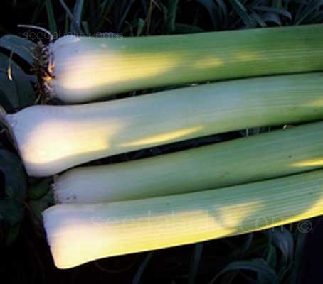 Leek Tornado is a very high yielding, open pollinated variety