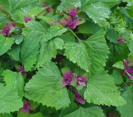 Vivid pink tinged triangular bright green leaves with each new set of leaves blushed a shocking magenta.