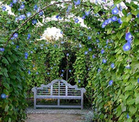 Morning glory is an appropriate name for this beautiful climber. 'Heavenly Blue' is the most popular variety,