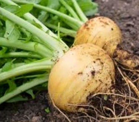 Turnip 'Goldana'  is a maincrop variety that produces uniform round golden roots with tender creamy-yellow flesh.