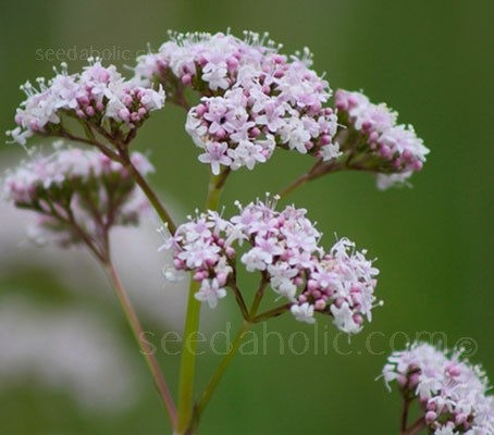 Valeriana officinalis is a graceful wildflower that is native to Europe and Western Asia.