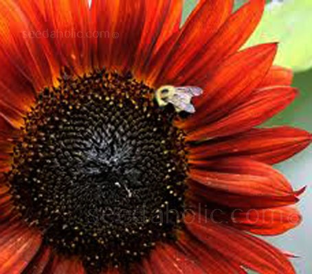 Sunflower 'Velvet Queen' has handsome 15cm heads in an opulent shade of velvety rich crimson.