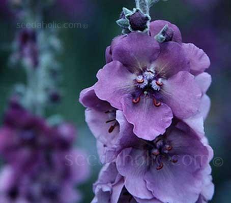 Verbascum phoeniceum 'Hybrids Mix'