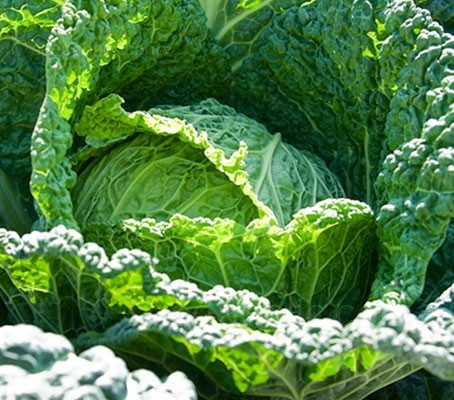 Cabbage 'Vertus' produces rounded heads of finely blistered, dark green ruffled leaves