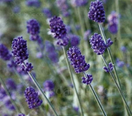 Lavandula angustifolia 'Vincenza Blue' bloom the first year from seed.