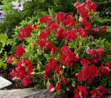 """Villa Roma Scarlet"" is an exciting new dwarf bush type sweet pea with sweet scenting blooms."