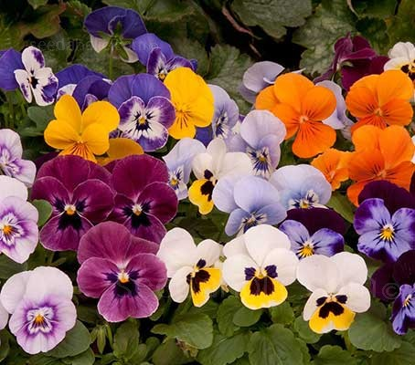 """Viola """"Sorbet Hybrids"""" are a unique miniature hybrid that combines the charm of violas with the explosive colours of pansies."""