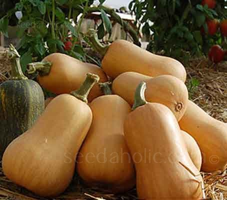 'Waltham' is an improved version of the common Butternut squash. First bred in the 1960's they are reliable, productive and a long-keeper.