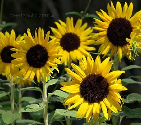 If you like well-branched, very free-flowering Sunflowers, 'Waooh!' is the one you've been looking for.