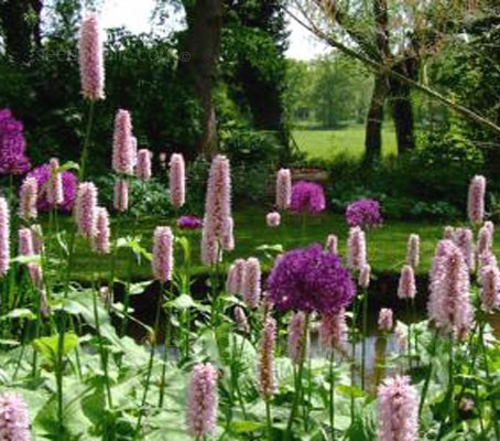 "Persicaria ""Superba"" with Allium 'Purple Sensation'."