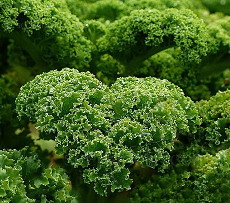 Kale 'Westland Winter' is a medium early variety with dark green leaves that are heavily blistered and very curly.