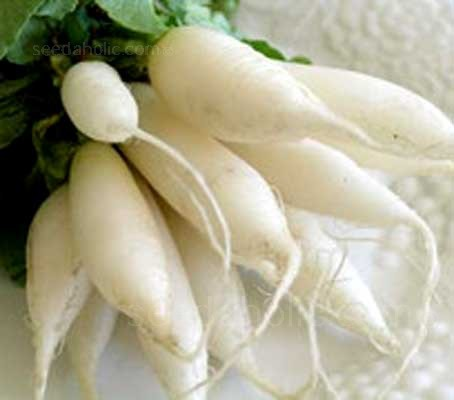 Radish 'Long White Icicle' is a uniform strain which forms long pure snow-white roots.