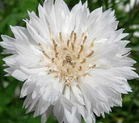 Centaurea 'Snowman' is a double flowered cultivar with wonderful fluffy, white flowers on densely branched upright plants.