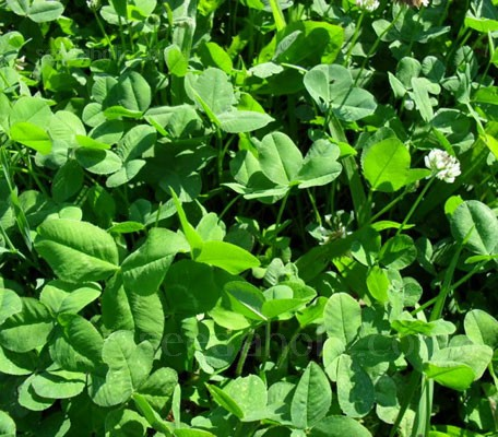 Green Manure 'Winter Mix' is suitable for sowing in late summer, through autumn and for digging in during spring.