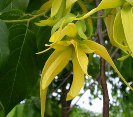 Ylang-Ylang which means 'flowers of flowers', and is among the most celebrated flowering trees in the world.