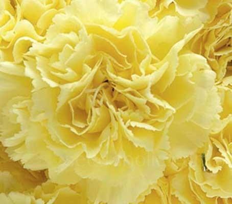 Dianthus caryophyllus, 'Grenadin Yellow'