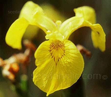 Iris pseudacorus is a wetland plant that is especially showy during its blooming period