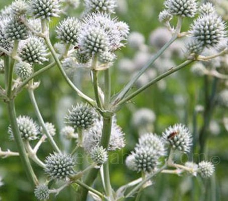 The long sword-shaped leaves of Eryngium yuccifolium launch an architectural wonder of tight set thistle-style, white spheres and pointed ivory-white bracts