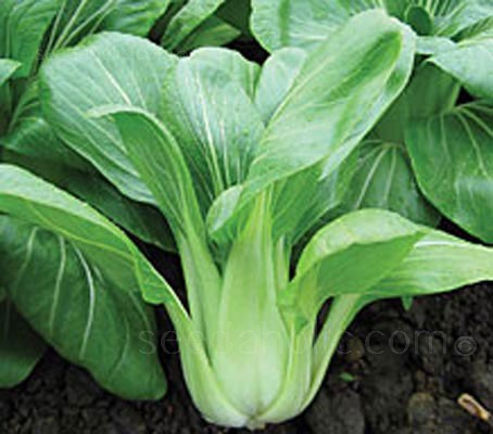 F1 Yuushou is a vigorous, green leaved variety of Pak Choi which is slow to bolt and suitable for all year round cropping.