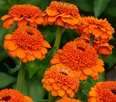 Zinderella 'Orange' offers large crested pompon blooms of bright tangerine with hints of deep gold