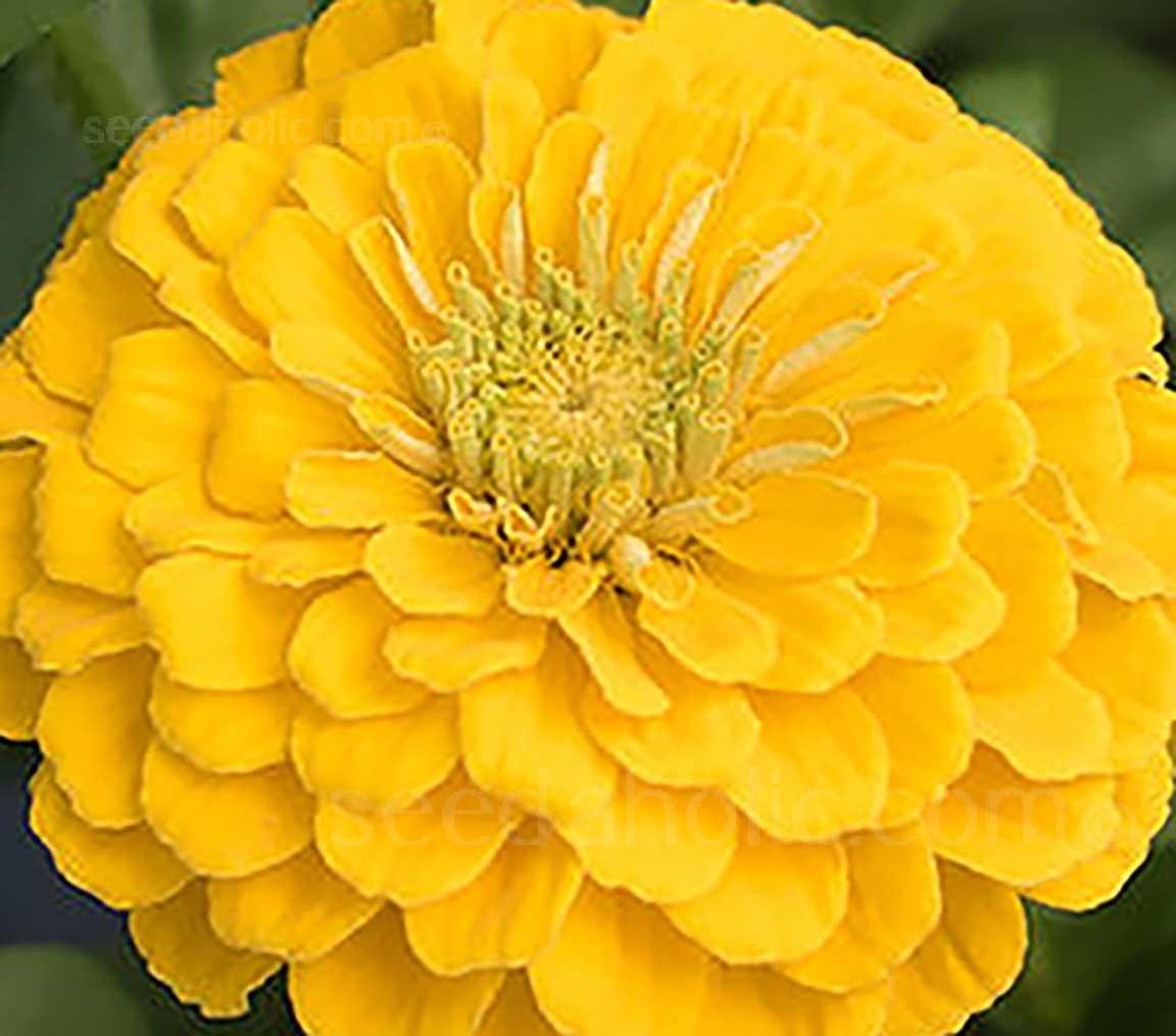 Zinnia elegans, 'Benary's Giant Golden Yellow'