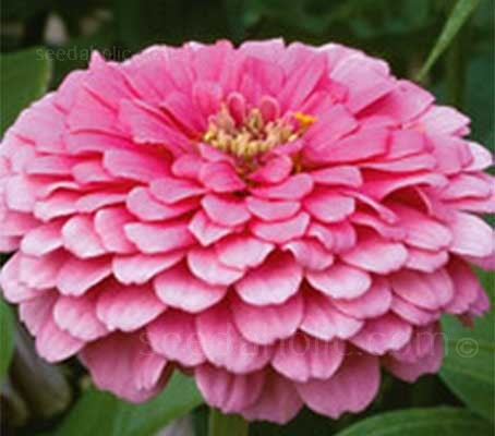 Zinnia elegans 'Illumination'