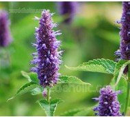 Agastache rugosa, 'Liquorice Blue' Organic
