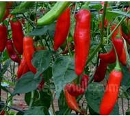 Pepper, Chili Pepper 'Aji Delight'