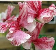 Lathyrus odoratus, Grandiflora 'America'