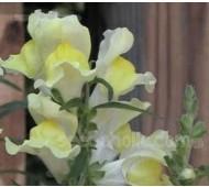 Antirrhinum braun-blanquetii