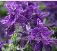 Salvia viridis 'Blue Monday'
