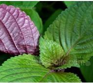 Perilla, Shiso 'Hojiso' Bi-coloured Leaf
