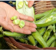 Bean: Broad Bean 'Ratio' Organic