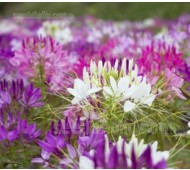 Cleome hassleriana 'Queen Series Mix'