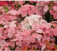 Dianthus barbatus 'Newport Pink'