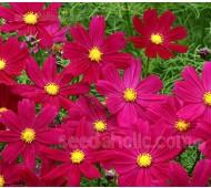 Cosmos bipinnatus 'Cosimo Purple-Red'